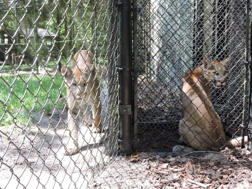 Sakata and Yuma are in the Ellie Schiller Homosassa Springs Wildlife State Park's excellent panther habitat.