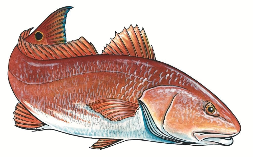 Red Drum illustration by Marty Wilson.