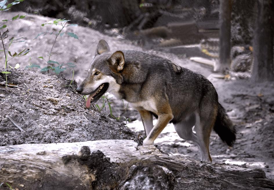 red-wolf-rose-by-ralph-bischoff