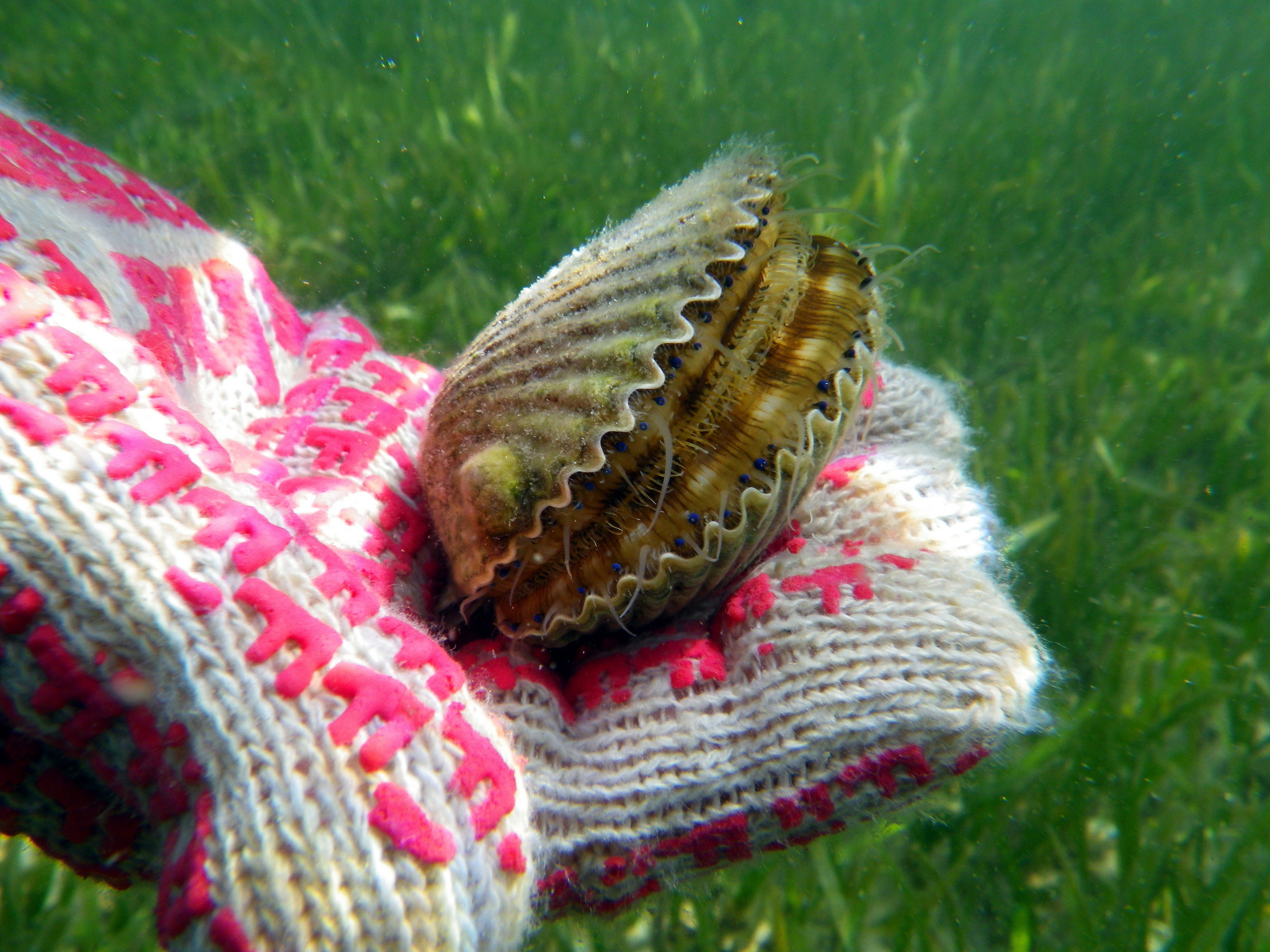 Fwc approves regional bay scallop seasons for 2018 for Florida fishing seasons
