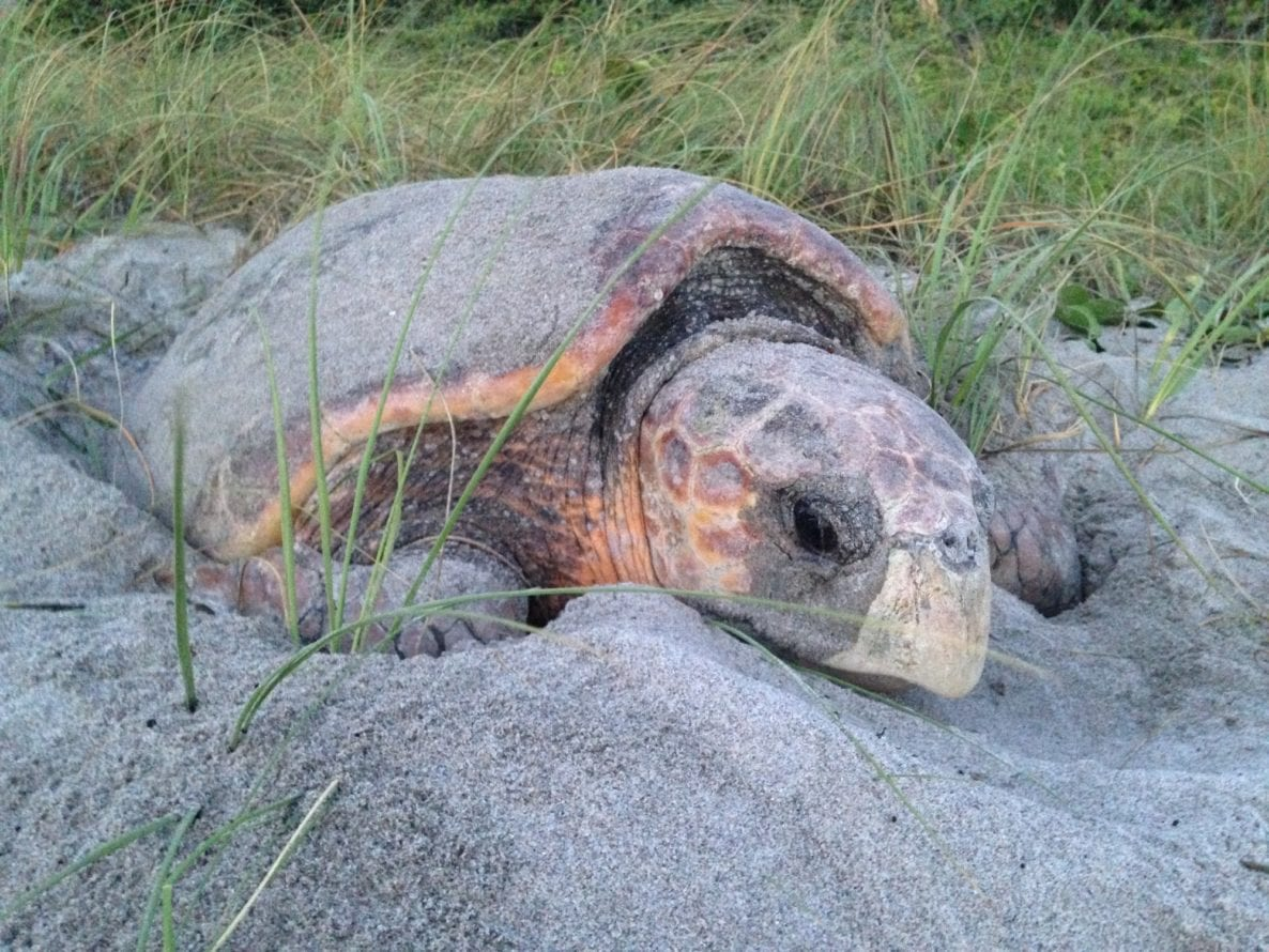 Help Nesting Sea Turtles March 1 October 31