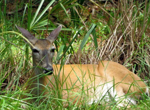 Lazy Deer