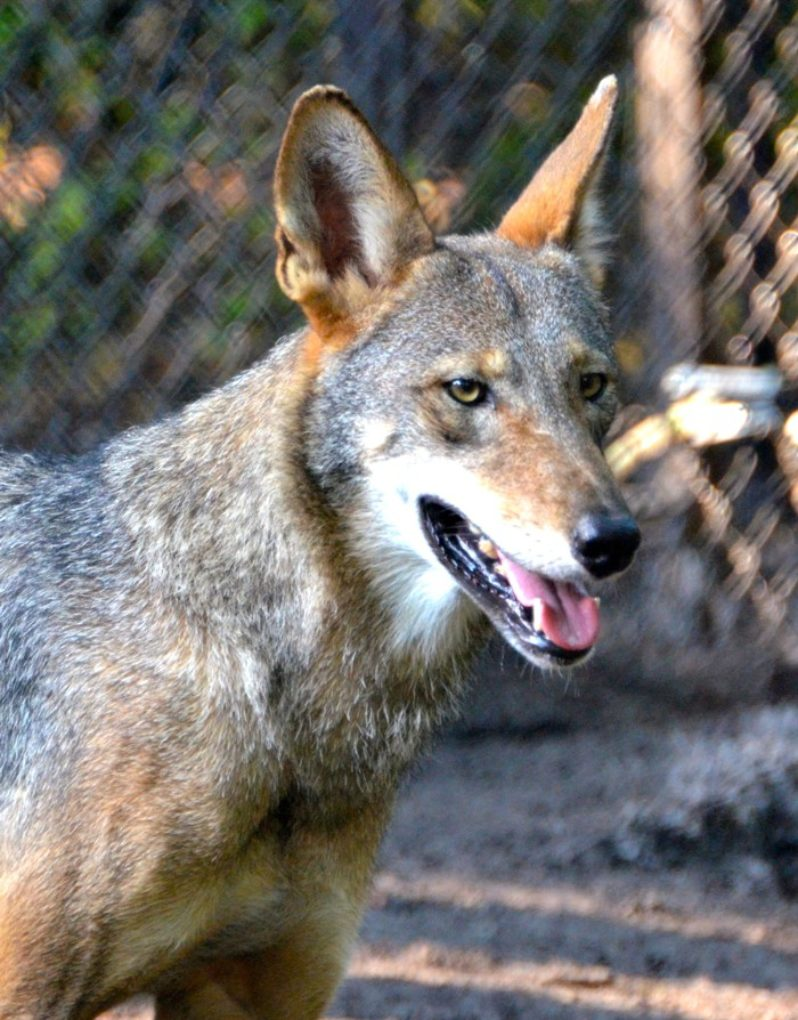 red wolf close up by Joe Dube